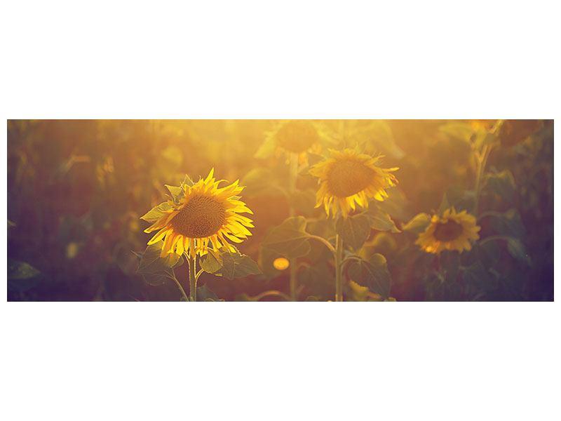 Acrylglasbild Panorama Sonnenblumen im goldenen Licht