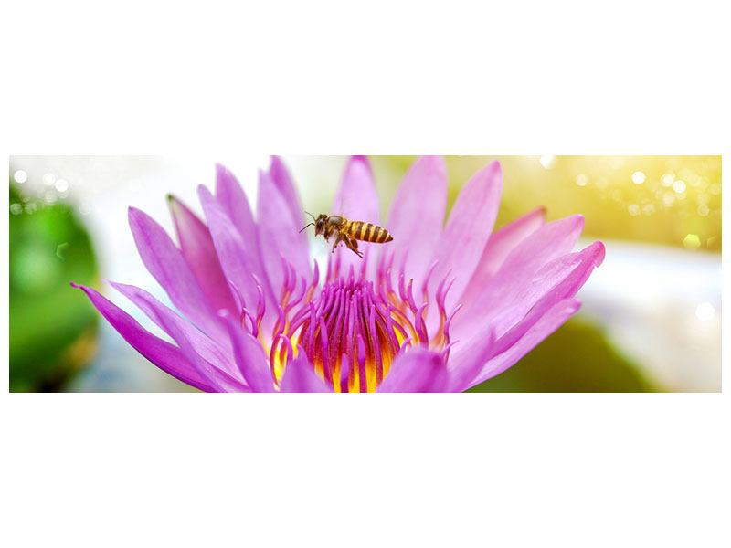 Acrylglasbild Panorama Die Lotus mit Biene