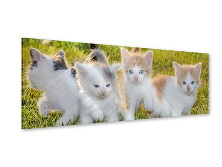 Acrylglasbild Panorama Katzenbabys