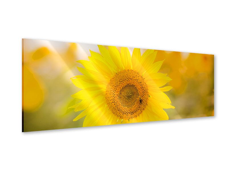 Acrylglasbild Panorama Sunflower