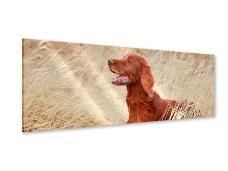 Acrylglasbild Panorama Irish Red Setter