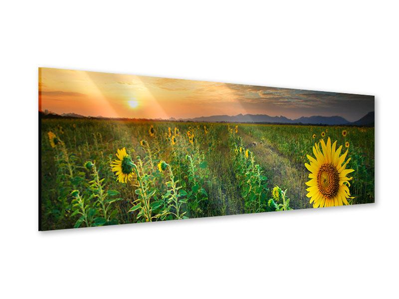 Acrylglasbild Panorama Sonnenblumenfeld im Abendrot