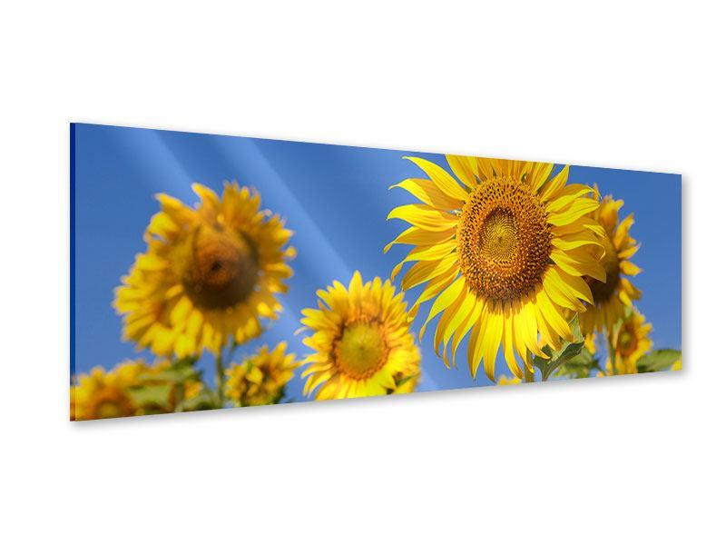Acrylglasbild Panorama Himmlische Sonnenblumen