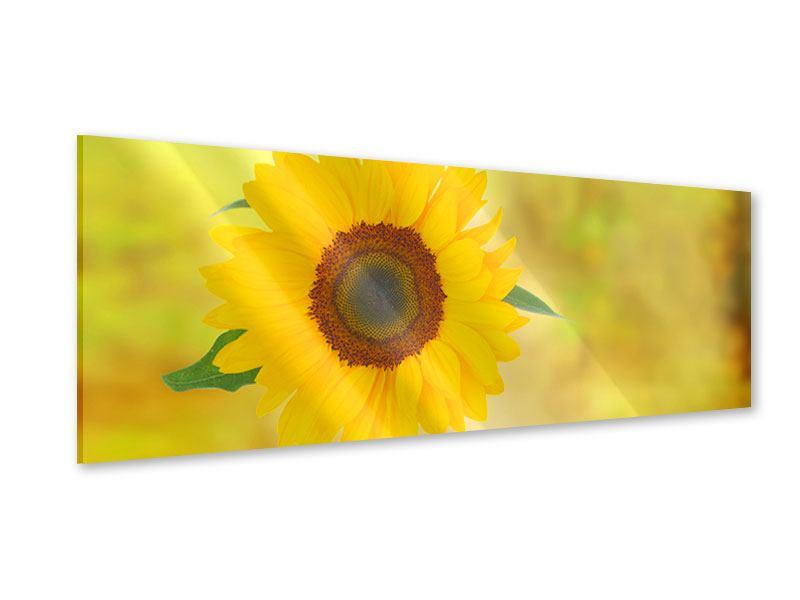 Acrylglasbild Panorama Die Sonnenblume