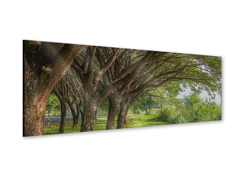 Acrylglasbild Panorama Alter Baumbestand
