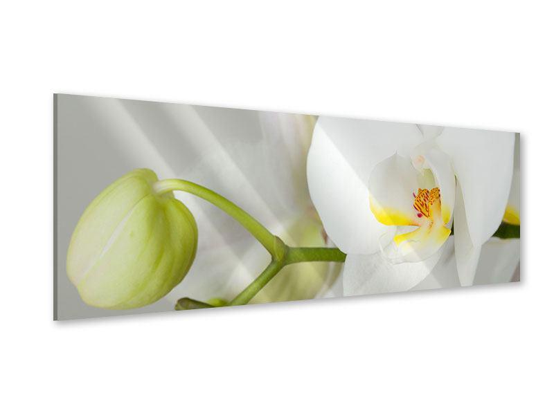 Acrylglasbild Panorama Riesenorchidee
