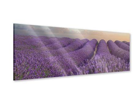 Acrylglasbild Panorama Das blühende Lavendelfeld