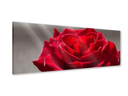 Acrylglasbild Panorama Rote Rosenblüte
