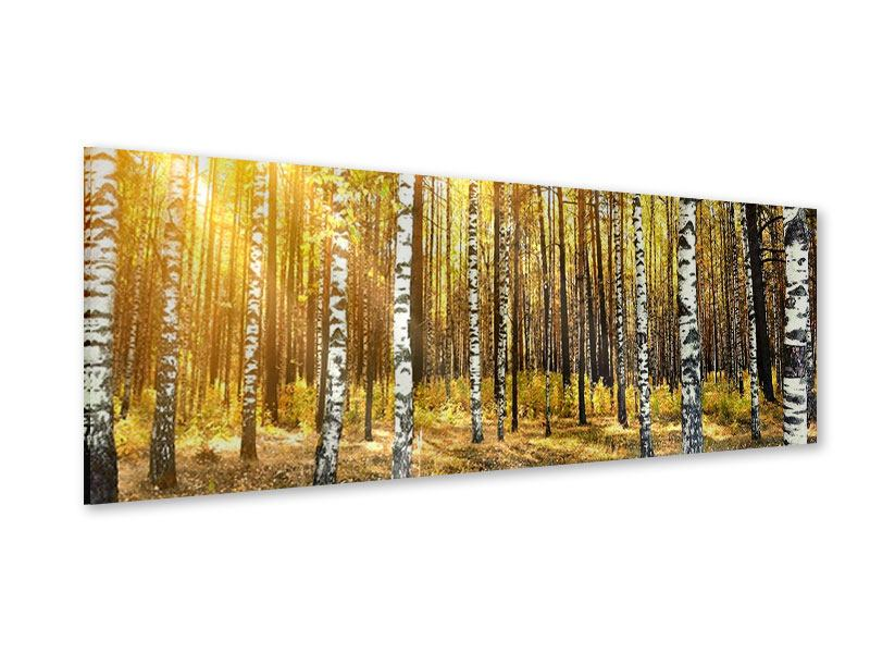Acrylglasbild Panorama Birkenwald