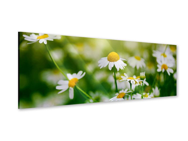 Acrylglasbild Panorama Die Gänseblümchen