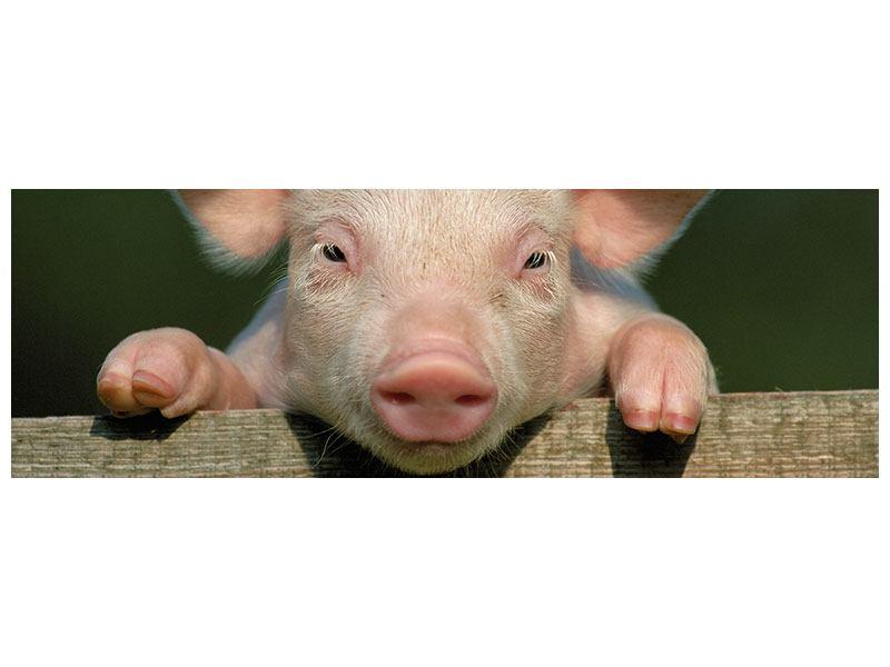 Acrylglasbild Panorama Schweinchen Namens Babe
