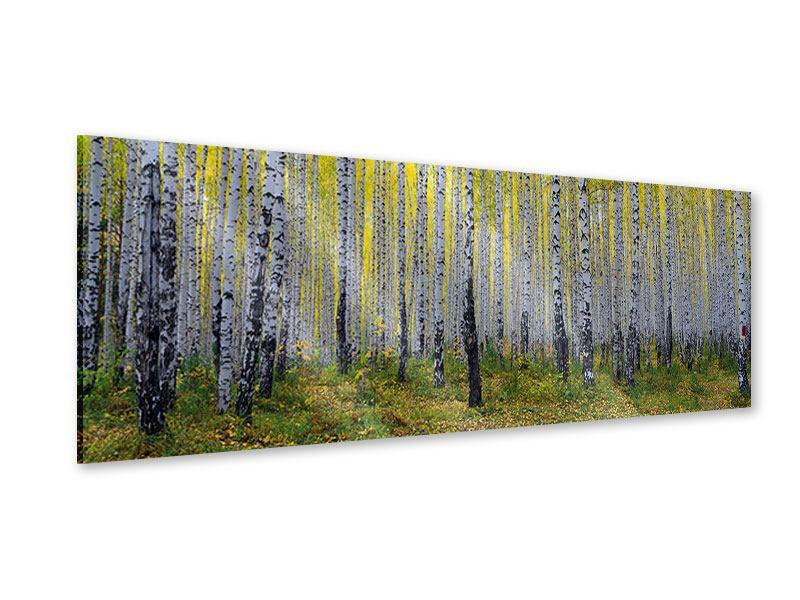 Acrylglasbild Panorama Herbstlicher Birkenwald