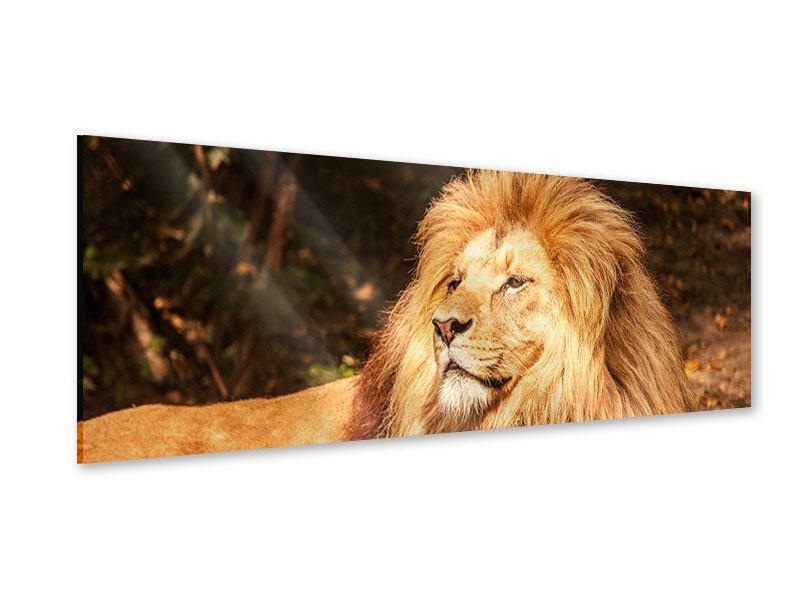 Acrylglasbild Panorama Löwe
