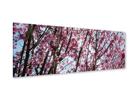 Acrylglasbild Panorama Japanische Blütenkirsche