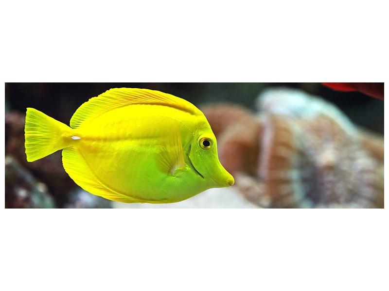 Acrylglasbild Panorama Segelflossendoktorfisch
