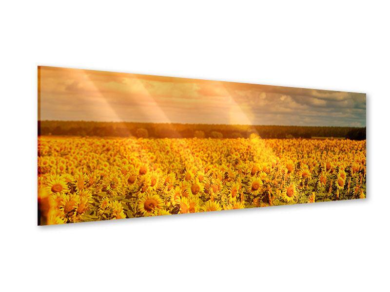 Acrylglasbild Panorama Goldenes Licht für Sonnenblumen