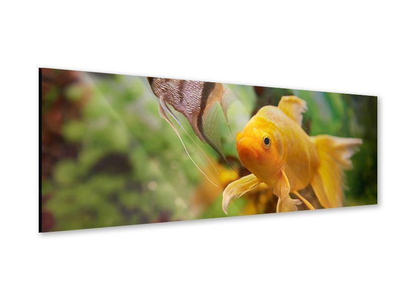 Acrylglasbild Panorama Bunte Fische