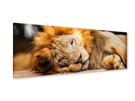 Acrylglasbild Panorama Entspannter Löwe