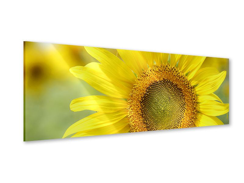 Acrylglasbild Panorama Die Blume der Sonne
