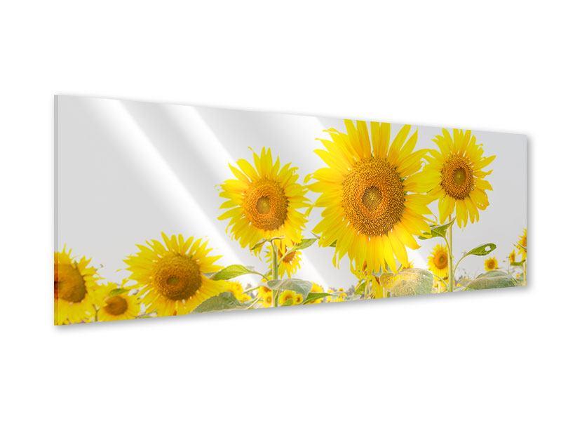 Acrylglasbild Panorama Das Sonnenblumenfeld