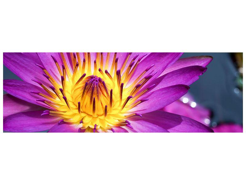 Acrylglasbild Panorama Makro Seerose in Lila
