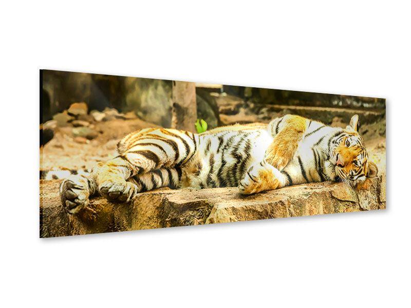 Acrylglasbild Panorama Der Sibirische Tiger