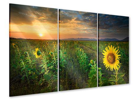 Acrylglasbild 3-teilig Sonnenblumenfeld im Abendrot
