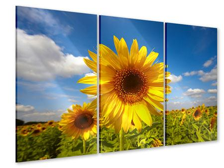 Acrylglasbild 3-teilig Das Feld der Sonnenblumen