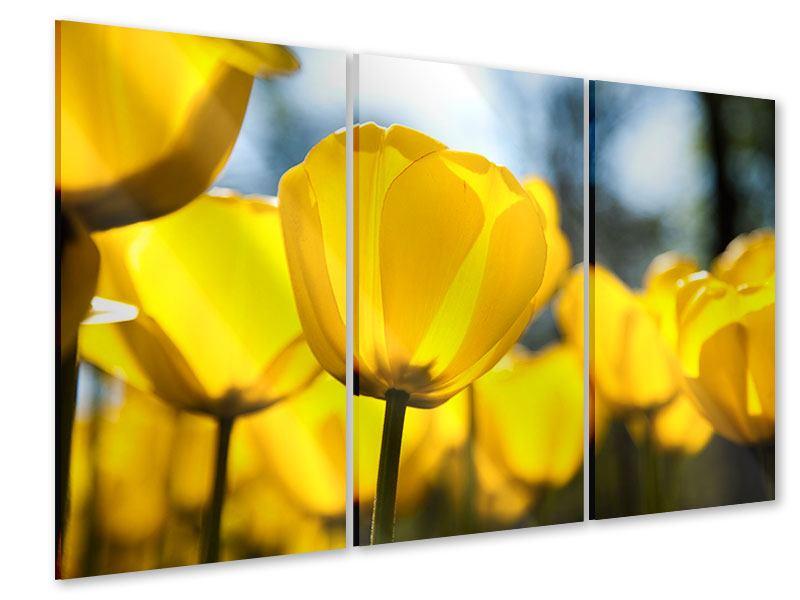 Acrylglasbild 3-teilig Gelbe Tulpen in XXL