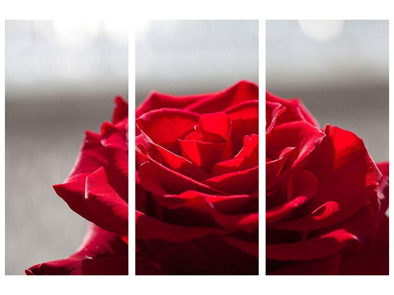 Acrylglasbild 3-teilig Rote Rosenblüte