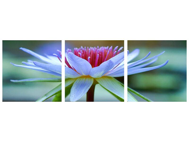 Panorama Acrylglasbild 3-teilig Pretty Lotus