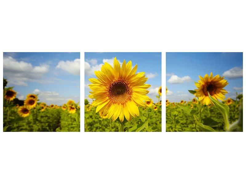 Panorama Acrylglasbild 3-teilig Sommer-Sonnenblumen