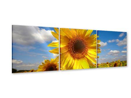 Panorama Acrylglasbild 3-teilig Das Feld der Sonnenblumen