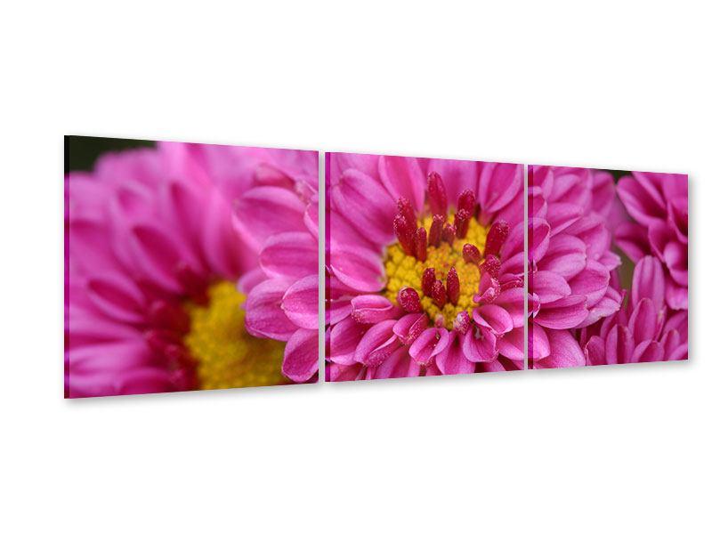 Panorama Acrylglasbild 3-teilig Chrysanthemen