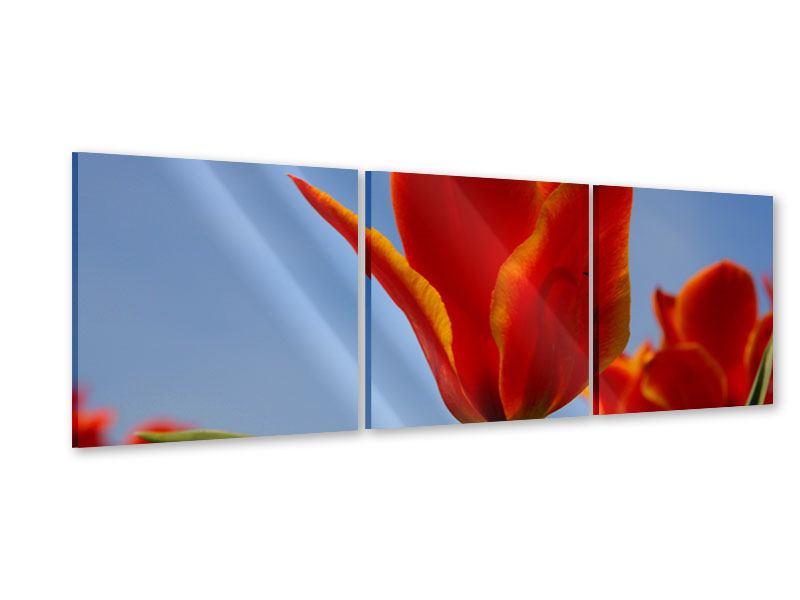 Panorama Acrylglasbild 3-teilig Rote Tulpen in XXL