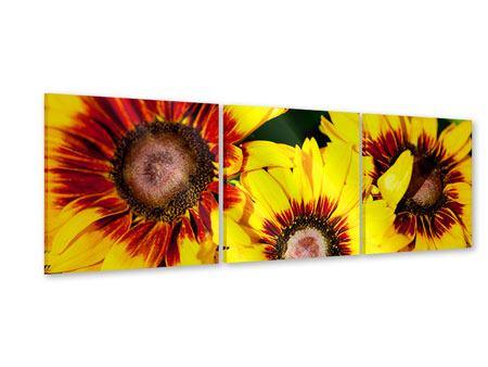Panorama Acrylglasbild 3-teilig Reife Sonnenblumen