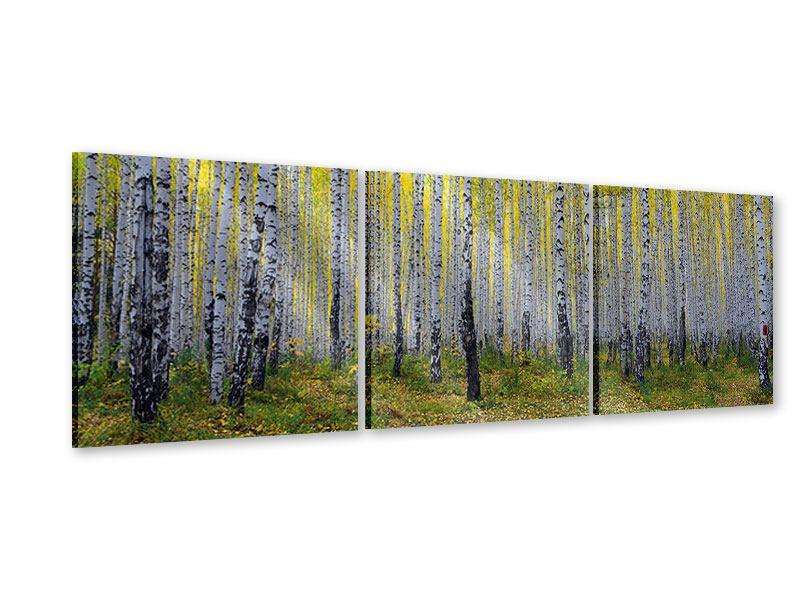 Panorama Acrylglasbild 3-teilig Herbstlicher Birkenwald