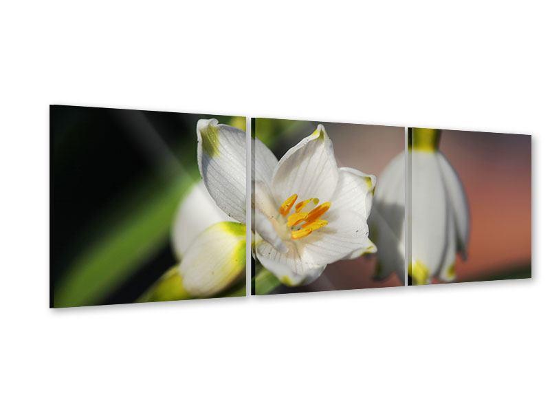 Panorama Acrylglasbild 3-teilig Schneeglöckchen XXL