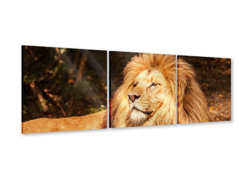 Panorama Acrylglasbild 3-teilig Löwe