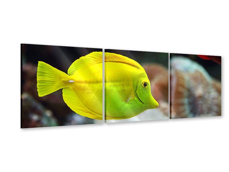 Panorama Acrylglasbild 3-teilig Segelflossendoktorfisch