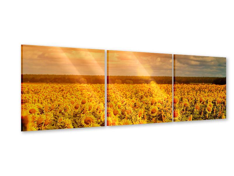 Panorama Acrylglasbild 3-teilig Goldenes Licht für Sonnenblumen