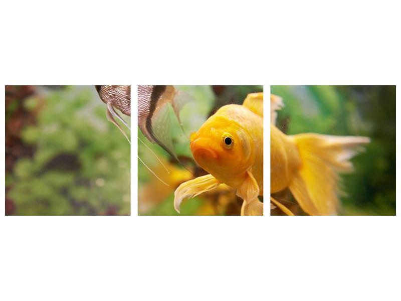 Panorama Acrylglasbild 3-teilig Bunte Fische