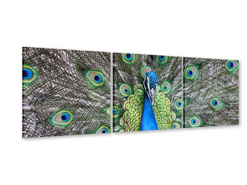 Panorama Acrylglasbild 3-teilig Blauer Pfau