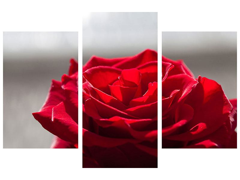 Acrylglasbild 3-teilig modern Rote Rosenblüte