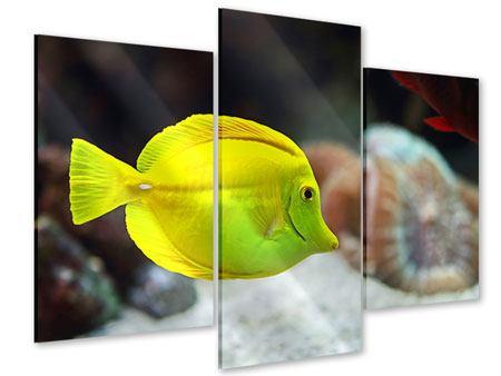 Acrylglasbild 3-teilig modern Segelflossendoktorfisch