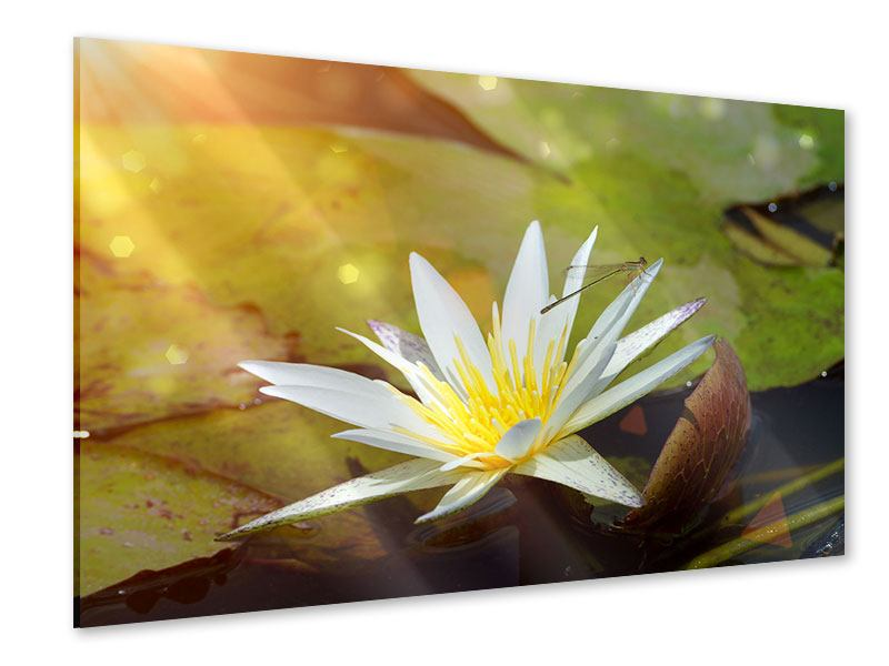 Acrylglasbild Seerose
