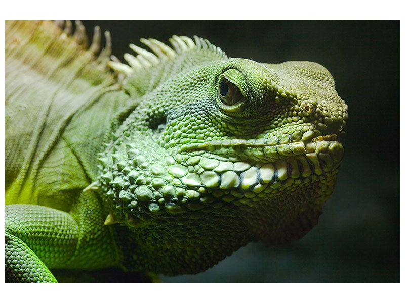Acrylglasbild XXL Leguan