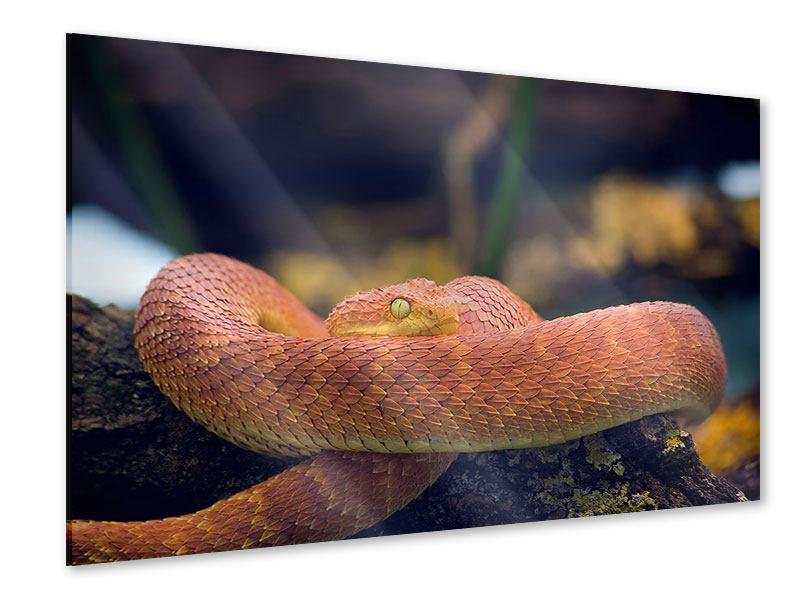Acrylglasbild Schlange
