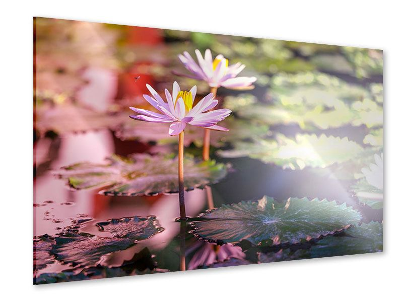 Acrylglasbild Seerosen im Teich