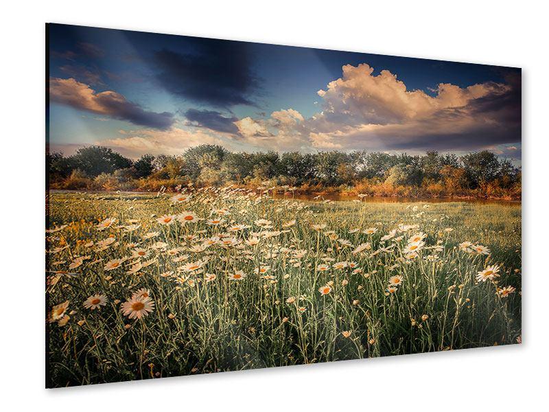 Acrylglasbild Die Wiesenmargerite am Fluss
